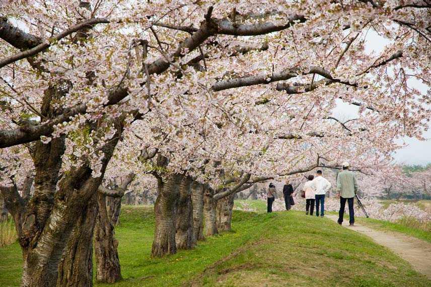People enjoying cherry blossoms (Image: Matt Wood)