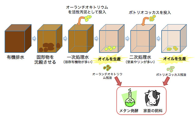 Fig 2. 下水等の有機排水は通常、活性汚泥というバクテリアの塊を投入して、浄化処理を行っている。活性汚泥の代わりにオーランチオキトリウムを投入すれば、オーランチオキトリウムは有機排水中の溶存有機物を使って、オイルを生産する。