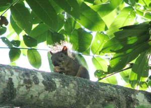 写真1.オニグルミの樹上で食事中のニホンリス(長野県上田市菅平高原)